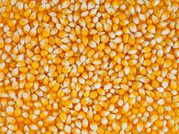 Yellow Corn Non GMO (Animal Feed)